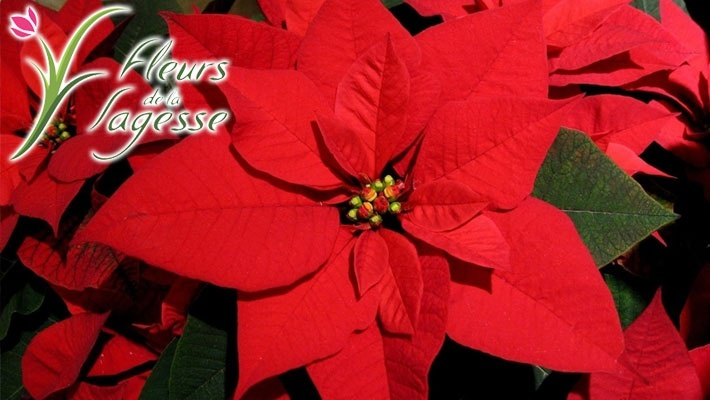 50% off Poinsettia Christmas Flower Plant from Fleurs de la Sagesse  (starting from  5 instead of  10) 01051af1fa29